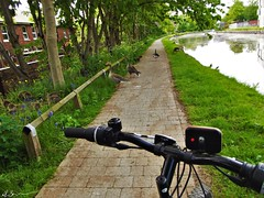 Road block! (Adam.L.) Tags: leigh leighlancashire leedsliverpool leedsliverpoolcanal canal canaltowpath bicycle bike geese greylaggeese goose goslings flora fauna wildfowl bird birds animals wildlife water