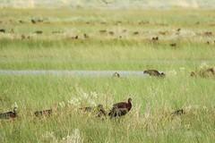 White-Faced Ibis, breeding in the Sierra Valley (Ruby 2417) Tags: ibis bird wildlife nature breeding nest sierra valley sierras mountain meadow marsh wetland