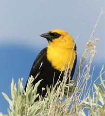 Yellow-Headed Blackbird in the Sierra Valley (Ruby 2417) Tags: yellow blackbird bird wildlife nature marsh wetlands sage sierra valley sierras nevada mountain