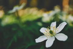 spring (Jos Mecklenfeld) Tags: sonya6000 sonyilce6000 sony30mmf35macro sel30m35 westerwolde niederlande nederland flowers blumen bloemen forest wald bos nature natur natuur bosanemoon anemonenemorosa buschwindröschen woodanemone terapel groningen netherlands