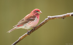 Purple Finch (M) (Melissa M McCarthy) Tags: purplefinch finch bird songbird animal nature outdoor wildlife wild backyard perched portrait red green spring mountpearl newfoundland canada canon7dmarkii canon100400isii male colorful vibrant