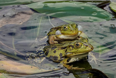 Frogs  Kikkers (Wilmeij) Tags: frogs kikker nature natuur netherlands