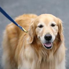 IMG_9197: Golden (i_am_lee_sam) Tags: 2019 care strut for strays charity dog walk skokie il