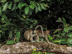 (zwierzory) Tags: borneo kinabatangan kinabatanganriver maleysia malezja sabah wildlife monkey animal