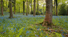 Dalkeith Country Bluebells (captures.in.time) Tags: bluebells wood blue countryside britain uk dalkeith scotland travel landscape landscapephotography flowers trees birds ngm nationalgeographic lonelyplanet midlothian countryfile forest tree grass park woods green fern