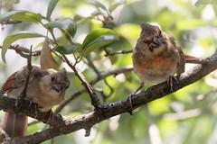 northern cardinal pair (austindca) Tags: bird northerncardinal