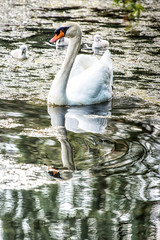 Swan's Reflection, Vancouver, BC (gks18) Tags: canon nature water reflection swan lightroom nik waterbirds bird vancouverbc