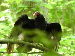 05/18/19 - wissahickon valley park (pepitaphotos) Tags: nature outdoors bird scavenger turkey vulture