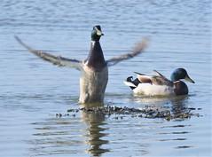 Mallard Drakes - Wing Stretch (Gilli8888) Tags: nikon p900 coolpix birds wetlands northumberland waterbirds water cresswell ducks mallardducks two pair drakes wings