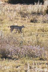 A dos metros_fp (Antonio Tomás Pineda) Tags: lince naturaleza ibérico sevilla conejo doñana lynx pardinus salvaje libertad campo