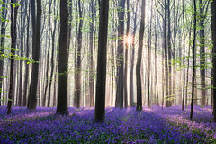 Hallerbos (Fab Boone Photo) Tags: photography fab boone fabboone photo beautiful colors belgium hallerbos brussels foret arbres soleil couleurs pink blue bluebells spring 2018 sunrise sunlight suntrains morning matin bois forest