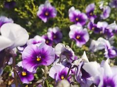Pansies (Simply Sharon !) Tags: pansies flowers plants springflowers nature may