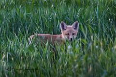 (bryce yamashita) Tags: colorado d500 fox foxkit nature nikon redfox wildlife yamashita