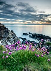 Thrift (sea pinks) after sunset (Donard850) Tags: northernireland north down thrift sunset sea belfast lough clouds rocks