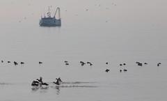 Foggy Erie Morning (peterkelly) Tags: digital northamerica canon 6d ontario canada wheatley lakeerie fishing boat water greatlakes birds flock bird foggy fog ducks duck flying