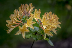 Beautiful Rhododendron .. (Julie Greg) Tags: lily flower flowers nature nautre colours canon details garden park spring spring2019
