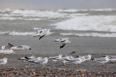 Against The Wind (peterkelly) Tags: canon 6d digital northamerica ontario canada pointpeleenationalpark tip stormy storm water lakeerie birds gulls gull bird shoreline shore beach windy wind pebbles stones waves wave