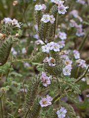 Honey Bee on Phacelia (wanderingnome) Tags: honeybee bee phacelia caterpillarphacelia yerbabuenaroad santamonicamountains venturacounty may 2019 wanderingnomez