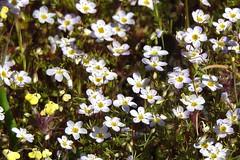 Douglas' Sandwort--Minuartia douglasii (Polioptila caerulea) Tags: douglassandwort sandwort minuartiadouglasii minuartia tablemountain buttecounty california
