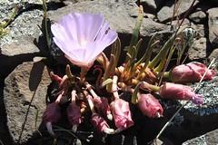 Oregon Bitterroot--Lewisia redivivia (Polioptila caerulea) Tags: oregonbitterroot lewisia lewisiaredivivia tablemountain buttecounty california