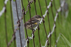 1.27801 Paruline à croupion jaune / Setophaga coronata coronata / Yellow-rumped Warbler (Laval Roy off until 07/08/2019) Tags: quebec aves birds oiseaux canon yellowrumpedwarbler setophagacoronata parulineàcroupionjaune parulidés passeriformes lavalroy baiedufebvre nicolet