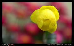 05-19 6144_Trollblume (werner_austria) Tags: trollblume frühling gelb blumen naturschutz