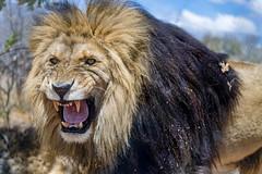 Pissed off lion! (Tambako the Jaguar) Tags: lion bif wild cat male mane close portrait face pissedoff angry unfriendly hissing openmouth kevinrichardsonwildlifesanctuary southafrica nikon d850