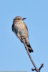 Spotted Flycatcher (blazingsun2011) Tags: andalucia birds competa eos7d naturalworld nature spain spottedflycatchermuscicapastriata
