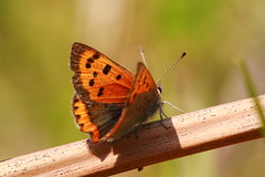 small copper butterfly (jon lees) Tags: murlough countydown murloughnnr insect invertebrate irishwildlife
