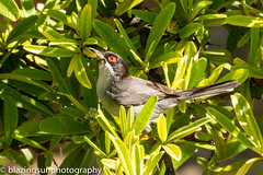 Sardinian Warbler-2 (blazingsun2011) Tags: andalucia birds competa eos7d naturalworld nature sardinianwarblersylviamelanocephala spain