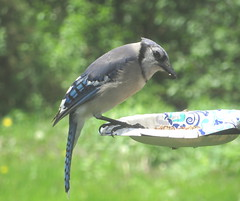 Blue Jay IMG_2723 (Ted_Roger_Karson) Tags: northernillinoishandheldcameracanonpowershotsx280hsmay19 2019canonpowershotsx280hsnorthernillinoishandheldcameraminiaturecompactpocketbackyardbirdfeedersuetsnowfriendsbirdsfullzoomtelephotosseedcakeanimalstelephotothisisexcellenttwoptestphotominicompactfood handheldcamera canonpowershotsx280hs northernillinois canon powershot sx280 hs northern illinois hand held camera miniature compact pocket back yard bird feeder suet snow friends birds full zoom telephotos seed cake animals telephoto thisisexcellent twop test photo minicompact food