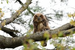 Owlet Stare (Hanzy2012) Tags: nikon d500 afsnikkor500mmf4difedii toronto ontario wildlife bird owl nature canada greathornedowl bubovirginianus owlet