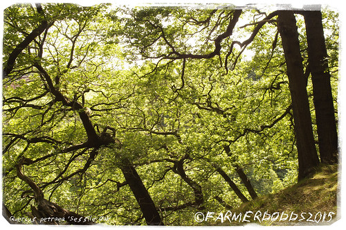 COCKEN WOODS: Quercus petraea 'Sessile Oak'