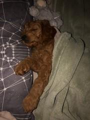 Remy taking a nap