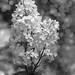White Lilacs-HMBT!
