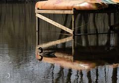 Reflets/Reflections (bd168) Tags: canadagoose bernache eau water kayaks support reflets reflection flood inondation ensoleillé sunny xf90mmf2rlmwr fujifilmxt10 bois arbres trees wood