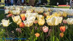 "Morges, ""Fête de la Tulipe"" (Stefano Procenzano) Tags: morges vd svizzera cantonvaud ch fêtedelatulipe parcdelindépendance availablelight reportage tulipano tulipe nikon nikkor d750 nikond750 28105mmf3545d fiori flowers fleurs blumen цветя dslr"