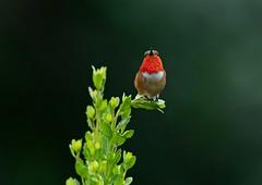 Allen's Hummingbird (Artoflife411) Tags: birding wildlife birds hummingbird