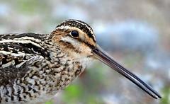 IMG_8849  Bécassine de Wilson (Marie-Helene Levesque) Tags: oiseau abitibi valdor eastsullivan east bécassine bécassinedewilson mariehélène mariehelene