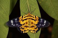 False Tiger Moth (Dysphania militaris, Geometrinae, Geometridae) (John Horstman (itchydogimages, SINOBUG)) Tags: insect macro china yunnan itchydogimages sinobug entomology moth lepidoptera canon geometrinae geometridae fbipm set tweet topf25 tumblr fb