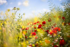 La explosión (una cierta mirada) Tags: flower flowers nature spring springtime poppy poppies colors red yellow blue sky clouds grasses plants botanical outdoors sunshine