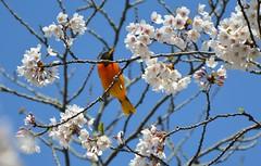Baltimore Oriole .... High Park .... Toronto, Ontario, Canada (Greg's Southern Ontario (catching Up Slowly)) Tags: birdphotography bird baltimoreoriole highpark nikond3200 naturephotography baltimoreoriolehighpark
