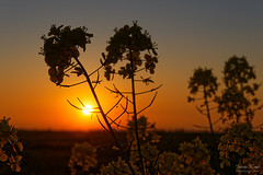Yellow Spring Sunset (Johan Konz) Tags: yellow rapeseed sunset landscape sun light plant flower nikon d7500
