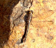 ecosystem/fauna/Small Skimmer(Orthetrum taeniolatum) (biodiversity western ghats(before it is gone)) Tags: taxonomy:binomial=orthetrumtaeniolatum