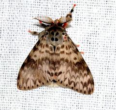 ecosystem/fauna/Tussock Moth(Lymantria viola) (biodiversity western ghats(before it is gone)) Tags: taxonomy:binomial=lymantriaviola