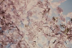 (M-L Pocket) Tags: flowers blossom cherryblossom pink pastel spring oxford explore 35mm 35mmfilm film fujifilm fujifilmc200 ishootfilm believeinfilm filmforever sky nature plants blossoms magic nostalgic vintage retro