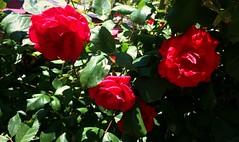 Rose (Anna Gelashvili) Tags: цветокроза роза rose flower цветок flowers цветочки красныецветочки ვარდი წითელივარდი ყვავილი ყვავილები garden