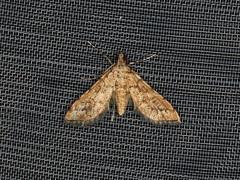 Spilomelinae sp. (dhobern) Tags: 2019 april australia lamingtonnationalpark lepidoptera queensland crambidae spilomelinae