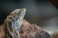 Dragon (Rico the noob) Tags: dof bokeh d850 nature germany 70200mmf28 reptile animal portrait lizard published 2018 closeup 70200mm zoo eye stuttgart indoor animals