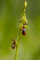 Fly Orchid - Ophrys insectifera (viking__77) Tags: 2019 england flyorchid may ophrysinsectifera sonya7iii spring voigtlander110mmf25macroapolanthar flower flowers macro orchidaceae outdoors plant wildflower